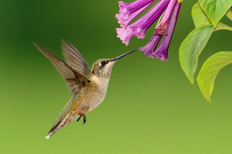 hummingbird-pink-flowere