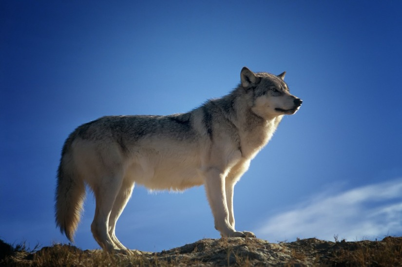 wolf on mountain